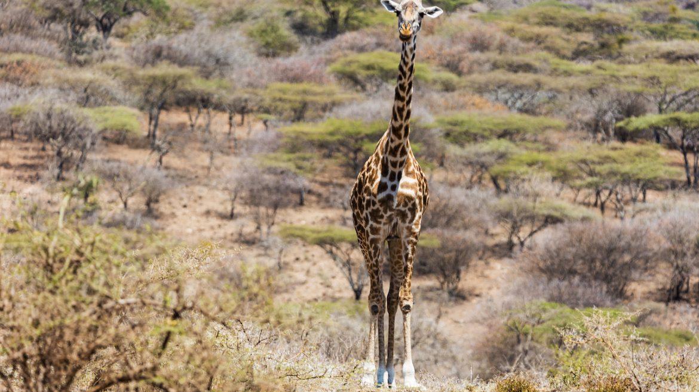 De elegante giraf
